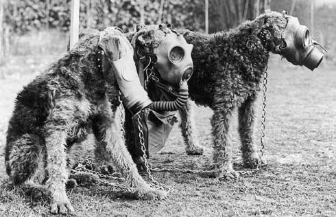 Airedale Terriers in gas-masks