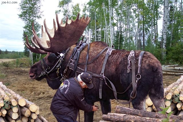 Logging Moose