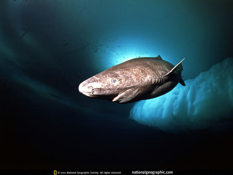 Greenland Shark from National Geographic