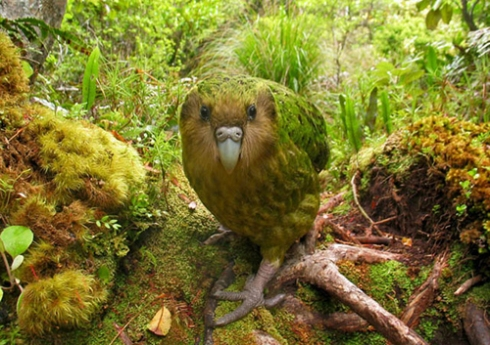 Shane McInnes' Kakapo for http://www.theworldsrarestbirds.com/en/about-photo-competition.html